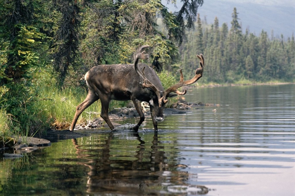 Alaskan Caribou - Kantishna Wilderness Trails