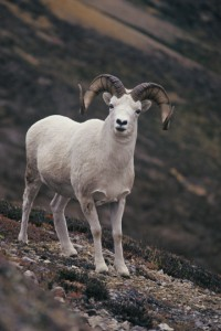 Dall Sheep