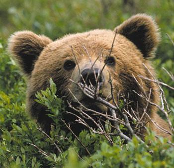 Denali Bear | Official Spokesbear for Doyon Tourism