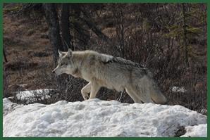 Denali Park Wolves
