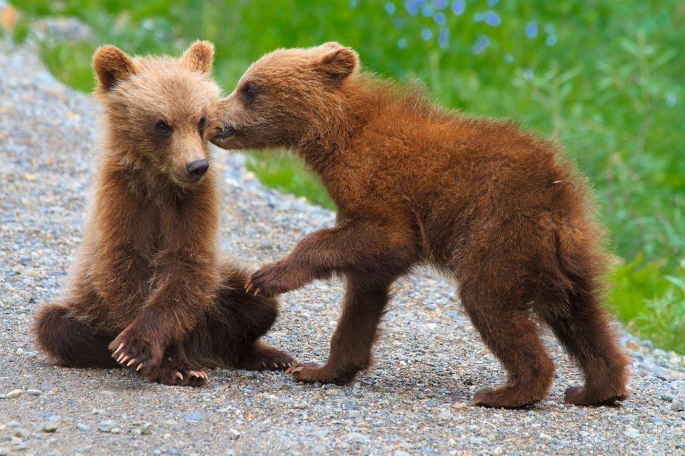 denali-park-bear-cubs-whispering