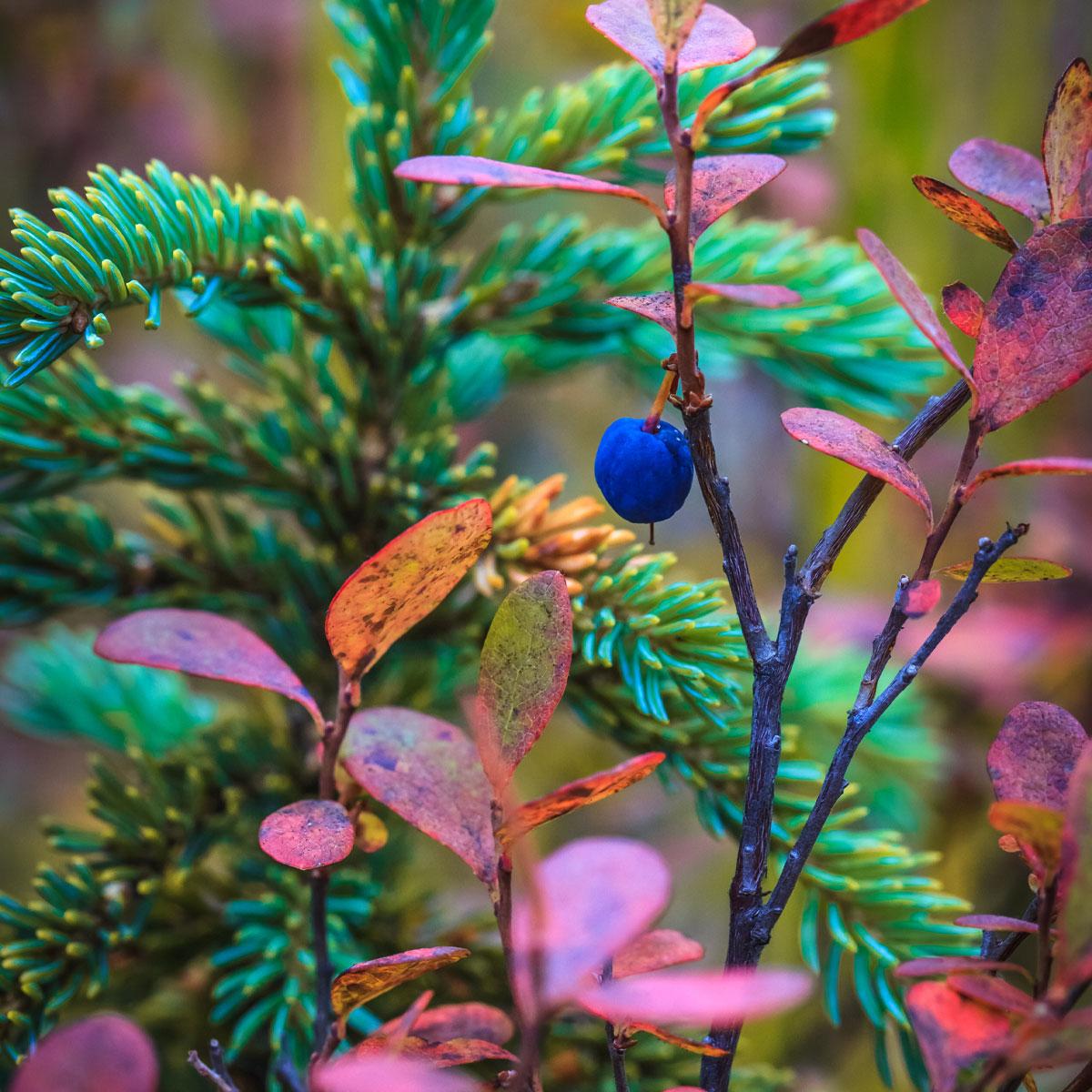 Berries and Greenery